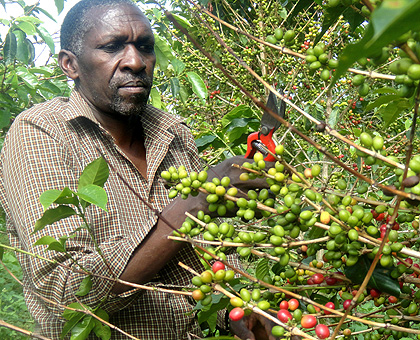 Uganda: Coffee policy to improve fortunes