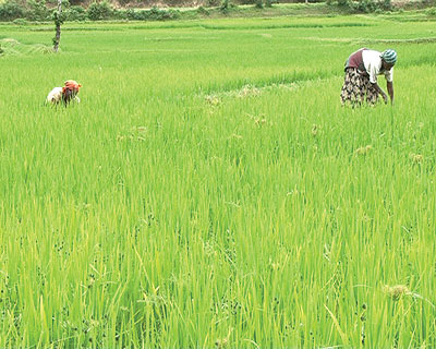 Poor soils, low prices demoralise Muhanga rice farmers