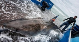 Great white shark's 1,000 miles epic ocean trek