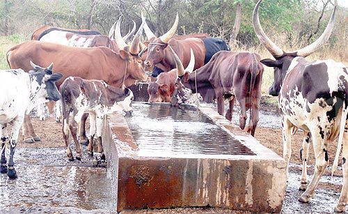 Prolonged dry spell ravages cattle corridor