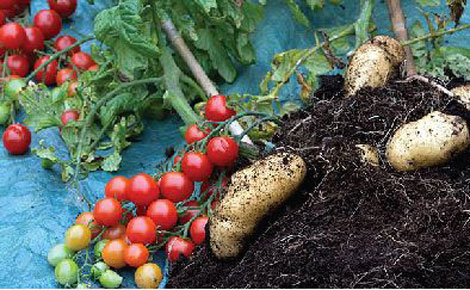 Meet pomato, the plant that yields both potatoes, tomatoes